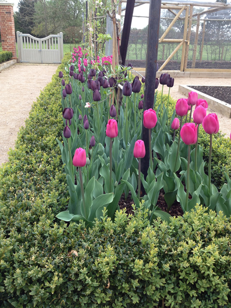 planting and soft landscaping tulips