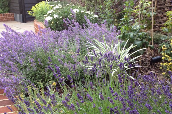 planting and soft landscaping lavender